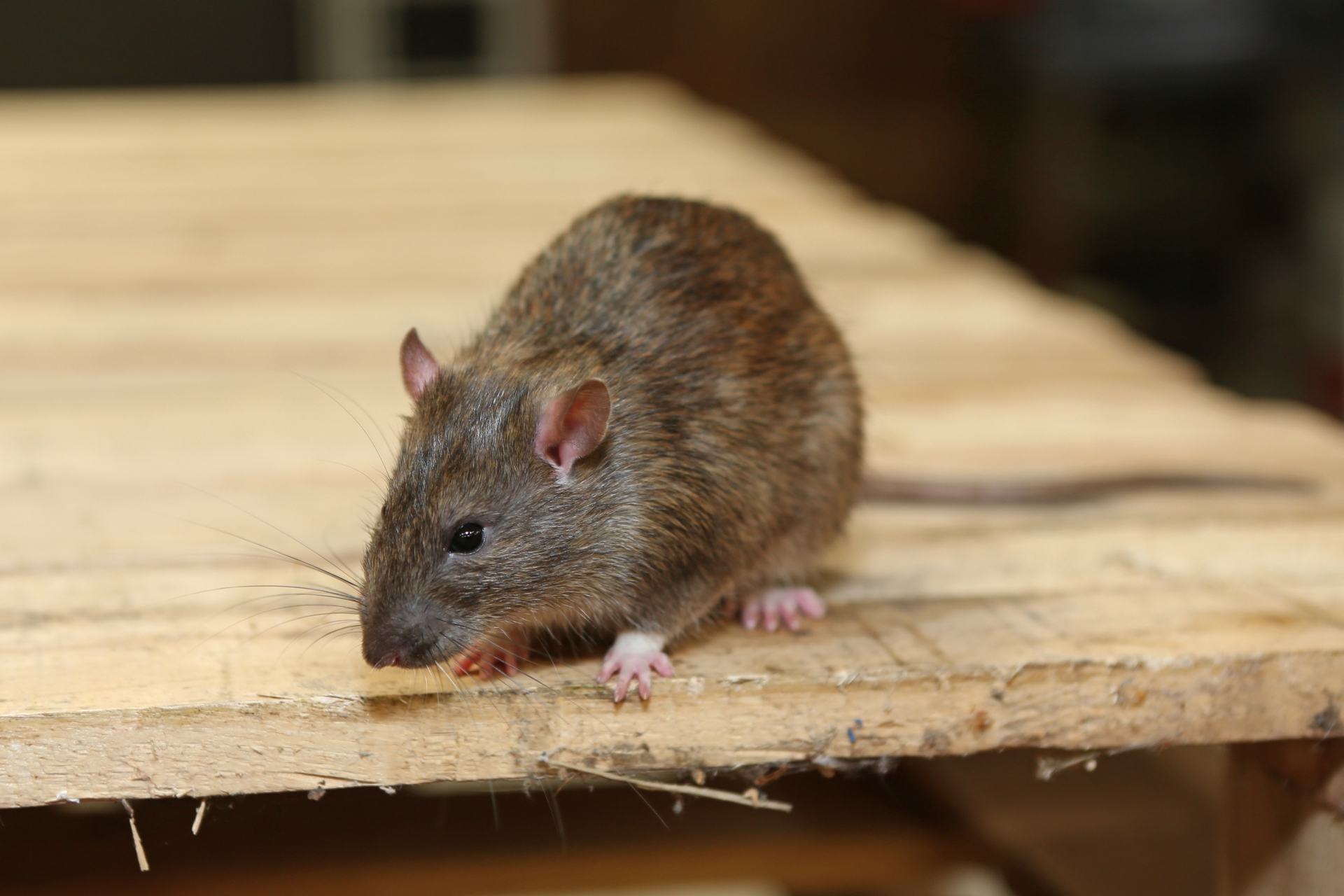 Rat Infestation, Pest Control in West Kensington, W14. Call Now 020 8166 9746