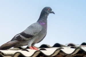 Pigeon Pest, Pest Control in West Kensington, W14. Call Now 020 8166 9746