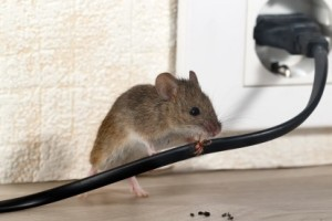 Mice Control, Pest Control in West Kensington, W14. Call Now 020 8166 9746