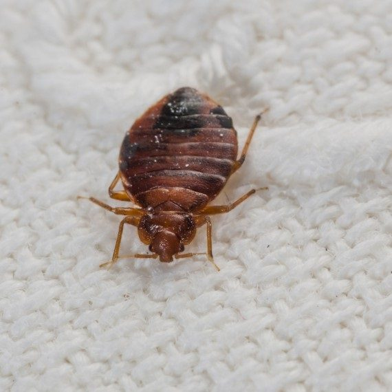 Bed Bugs, Pest Control in West Kensington, W14. Call Now! 020 8166 9746