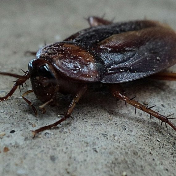 Cockroaches, Pest Control in West Kensington, W14. Call Now! 020 8166 9746