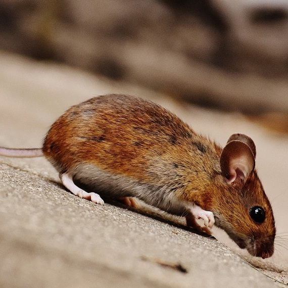 Mice, Pest Control in West Kensington, W14. Call Now! 020 8166 9746