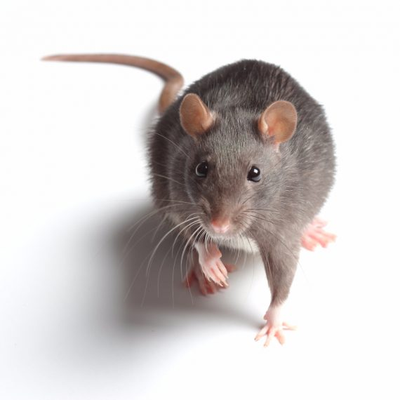 Rats, Pest Control in West Kensington, W14. Call Now! 020 8166 9746